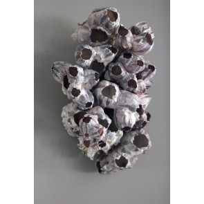 Barnacle Cluster Box of 9