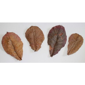 Dried Almond Leaves, 10 Leaves
